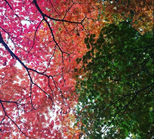 two trees, one with red-orange leaves, and the other with dark green leaves cross over one another