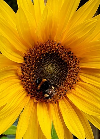 A bright sunflower close-up with a bee feeding in the middle