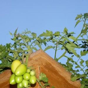 Tomates pendantes
