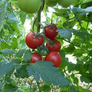 Production de tomates