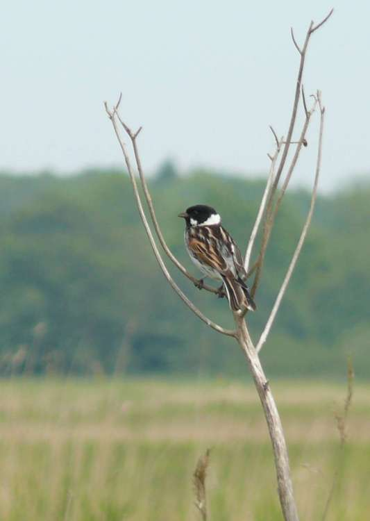 Upton Marshes, Reed Bunting (male) 2..JPG
