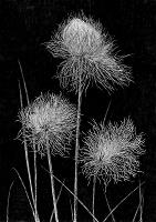 Cottongrass (Eriophorum scheuchzeri)