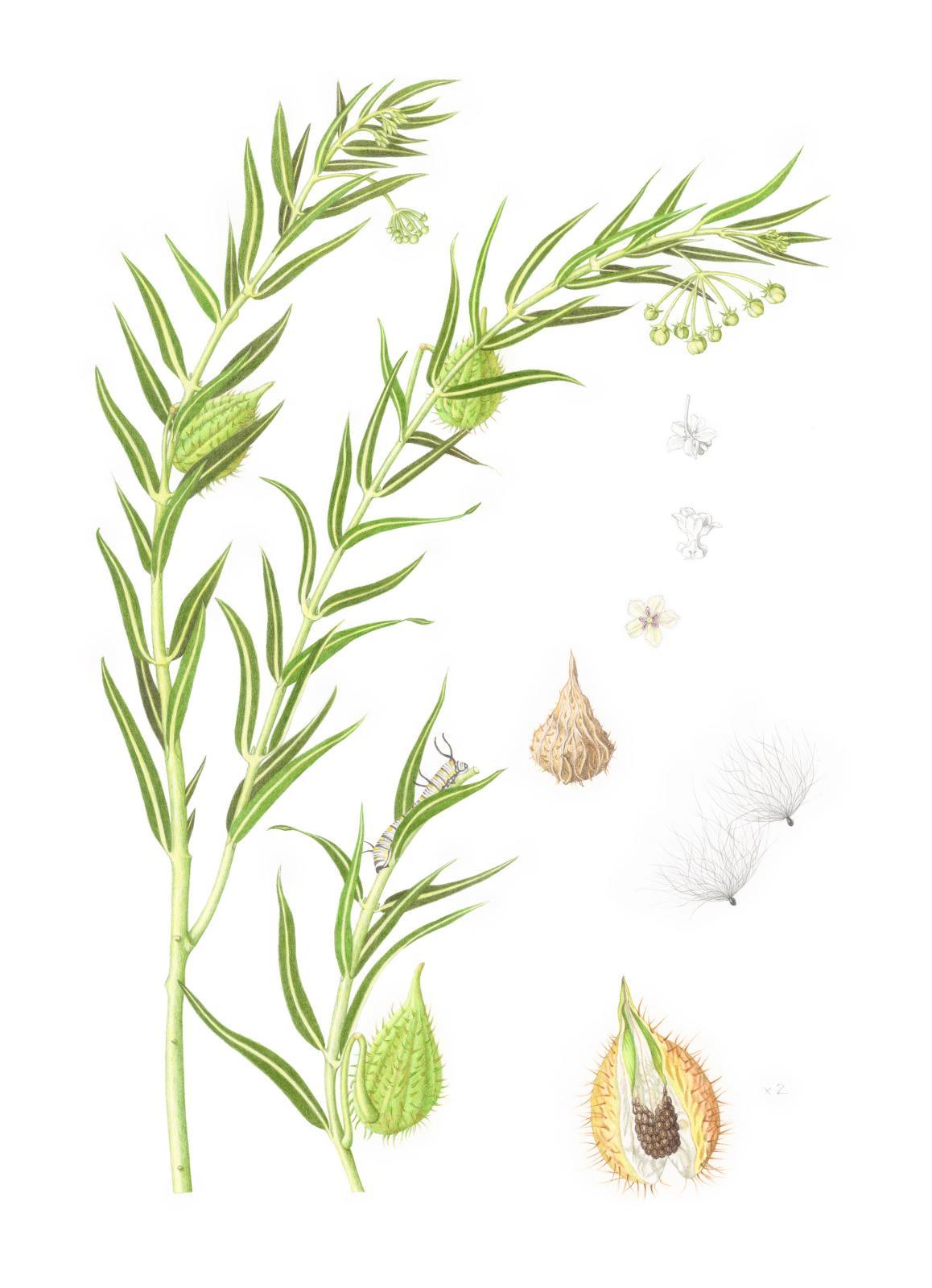 Gomphocarpus fruticosus with Danaus chrysippus