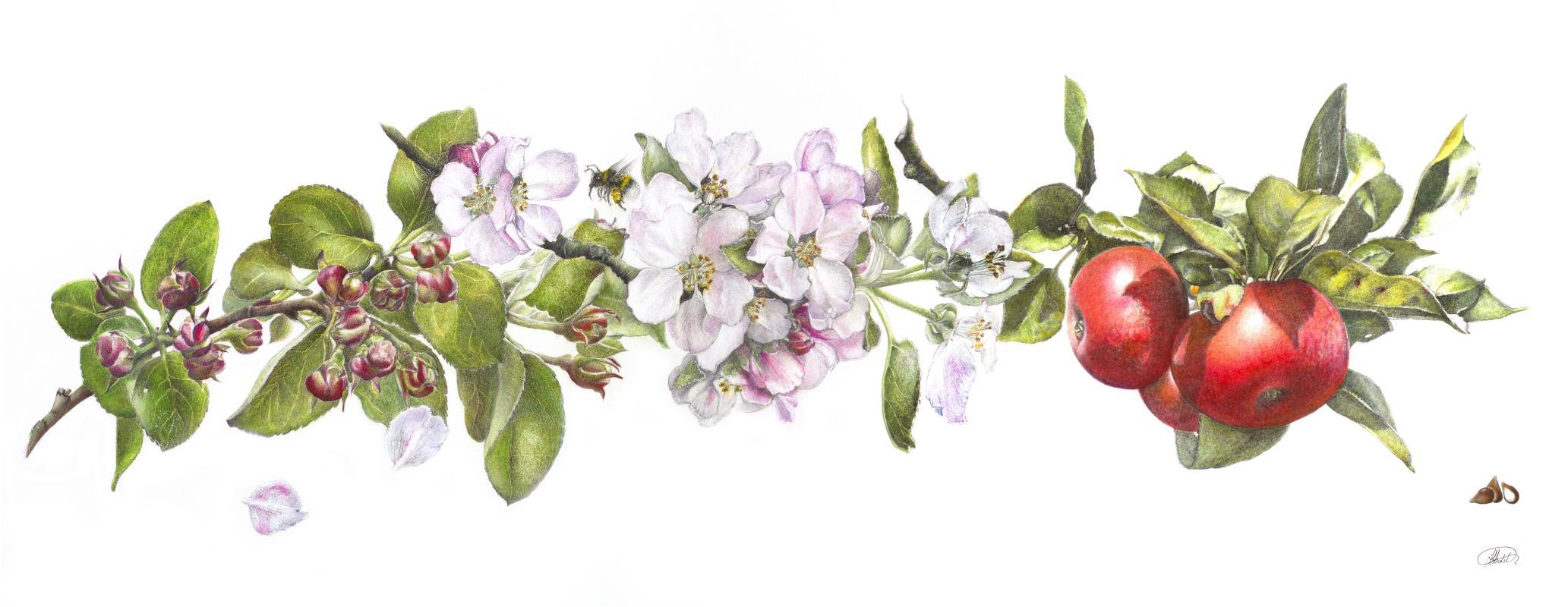Malus domestica. Worcester Pearmain   AWARD: Certificate of Botanical Merit