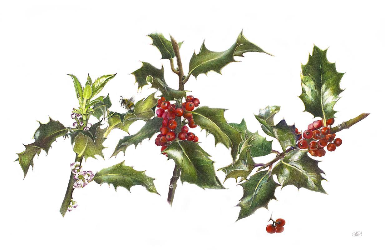 Ilex aquifolium. Holly