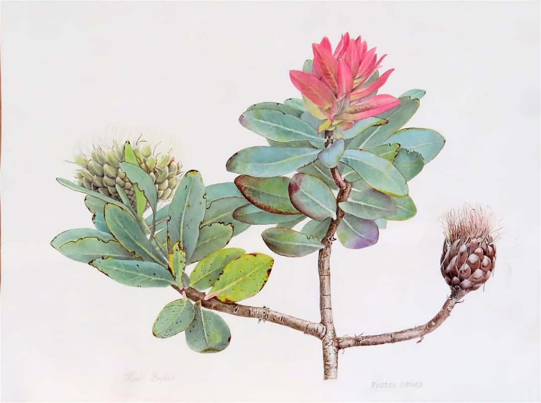 Protea nitida
