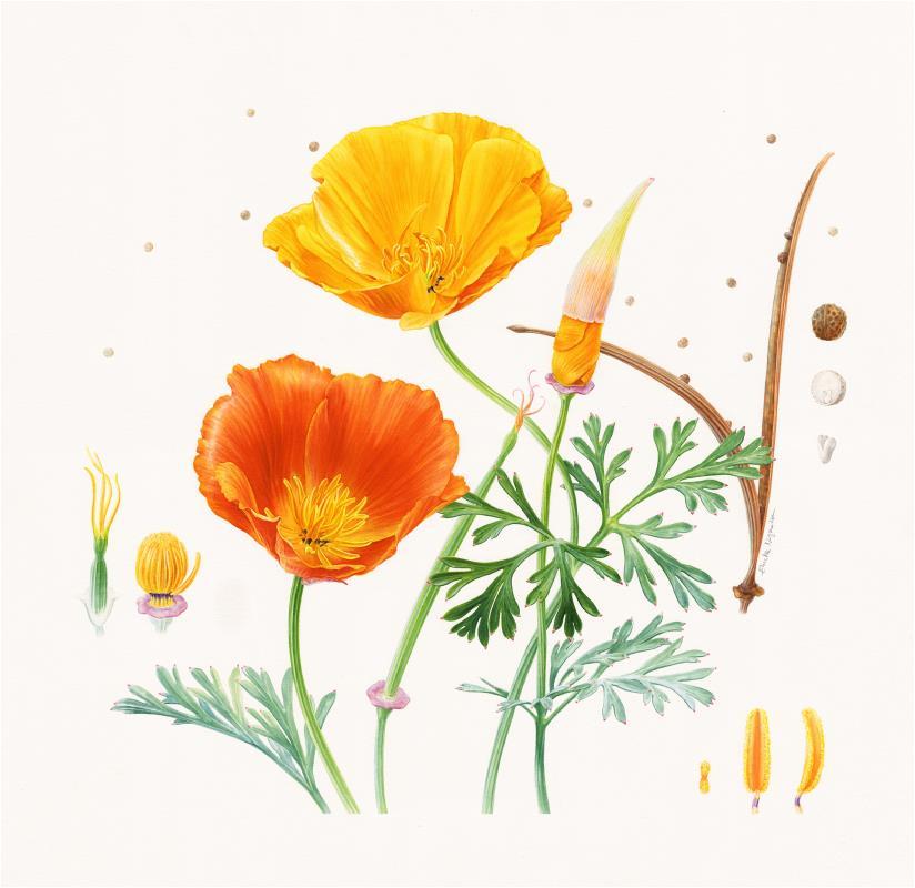 California Poppies - AWARD: Certificate of Botanical Merit