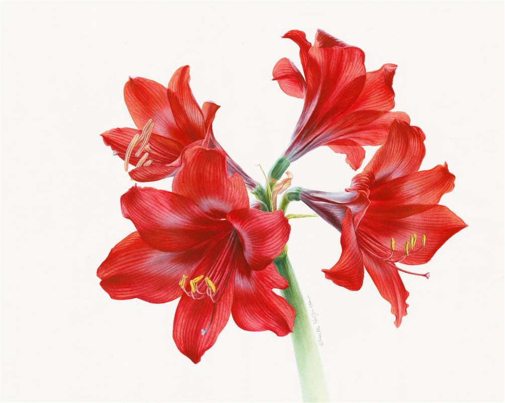 RED (Hippeastrum/Amaryllis?)