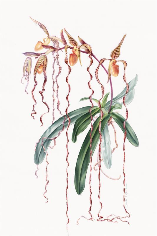 Queen of Paphs (Paphiopedilum sanderianum)