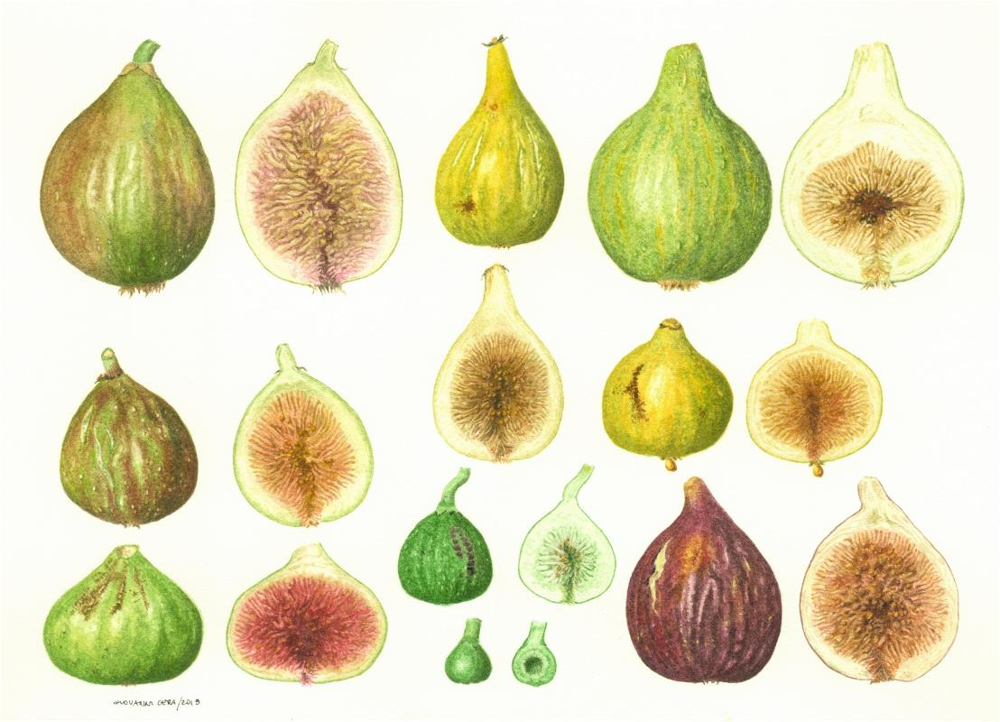Ficus carica. Apulian figs- AWARD: Exhibiting Excellence in Watercolour