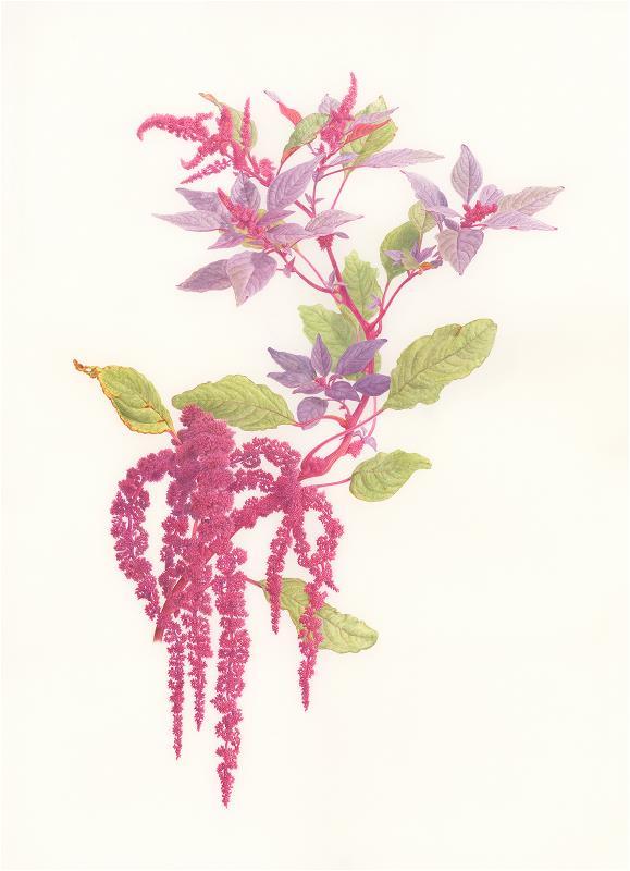 Amaranth - AWARD: Certificate of Botanical Merit