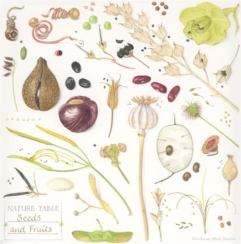 Nature table, Seeds and Fruits - AWARD: Certificate of Botanical Merit