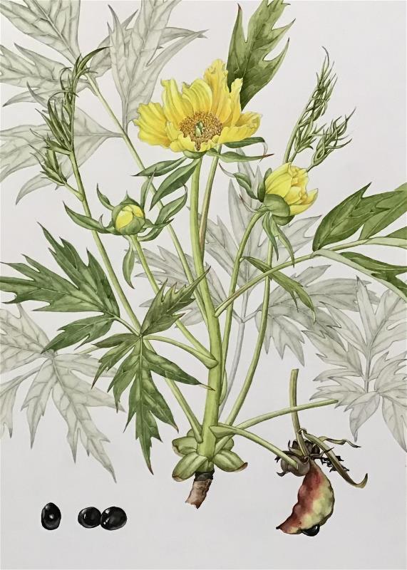 Tree Peony (Paeonia lutea) - AWARD: Joanna Craig-McFeely Award for a true botanical piece of work