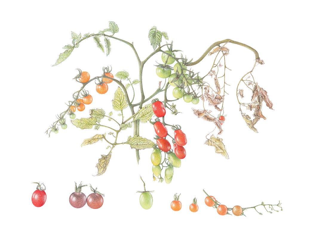 Cherry Tomatoes - AWARD: Certificate of Botanical Merit