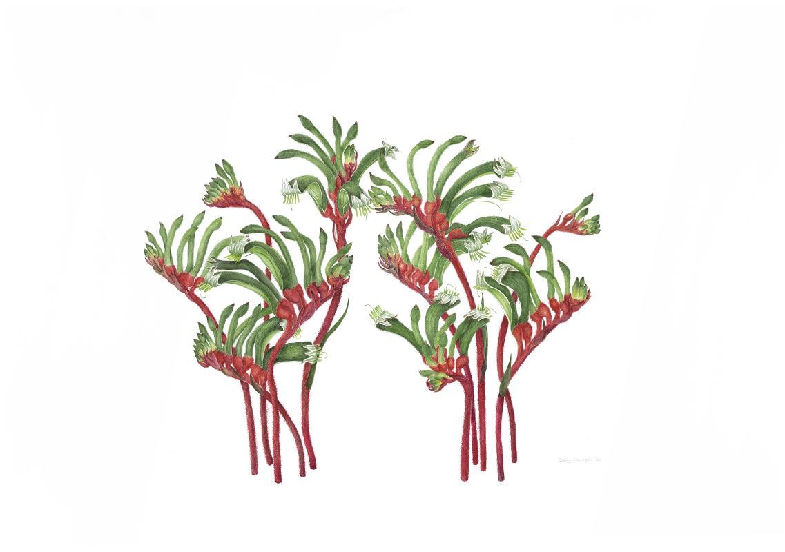 Anigozanthos manglesii  'Red and Green Kangaroo Paw - AWARD: Certificate of Botanical Merit