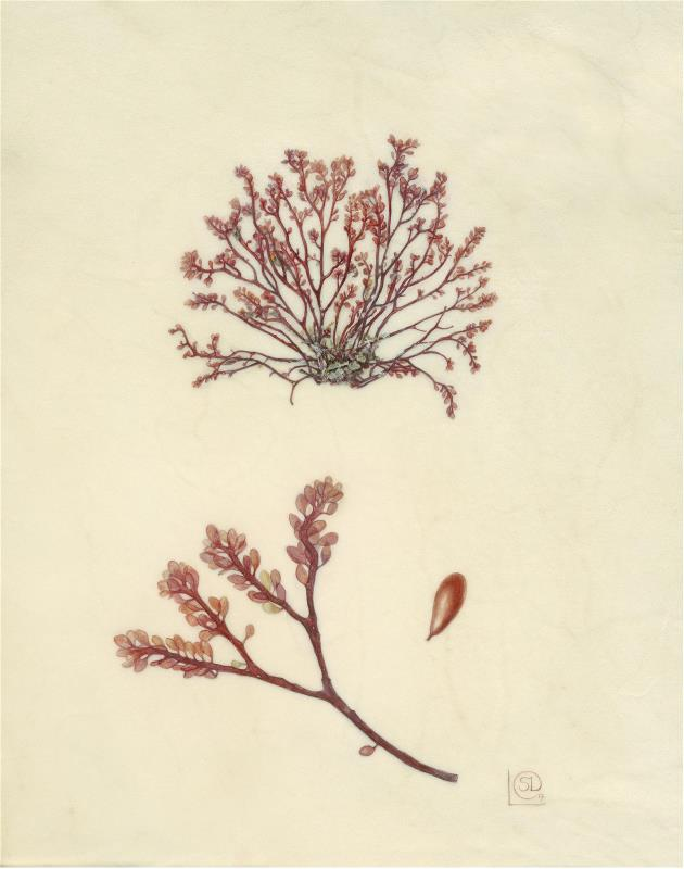 In Ellen's Footsteps, Fucus ovalis,  Whiddy Island 1805 - AWARD:  Exhibiting Excellence for the body of work on vellum