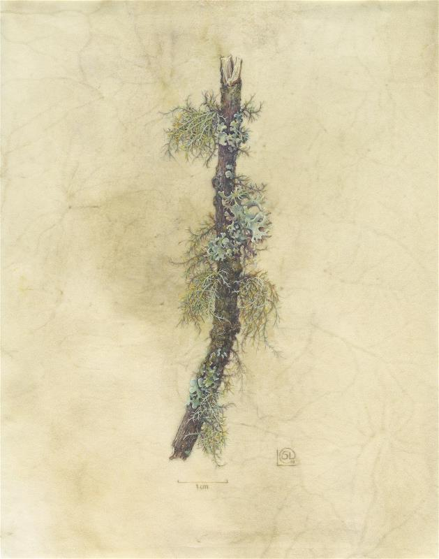 Snave Lichens, Usnea subfloridana and Parmotrema perlatum - AWARD:  Exhibiting Excellence for the body of work on vellum
