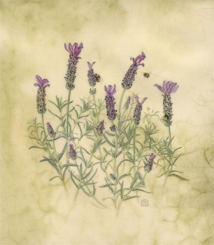 Lavender and Bumblebees, Lavandula stoechas - AWARD:  Exhibiting Excellence for the body of work on vellum