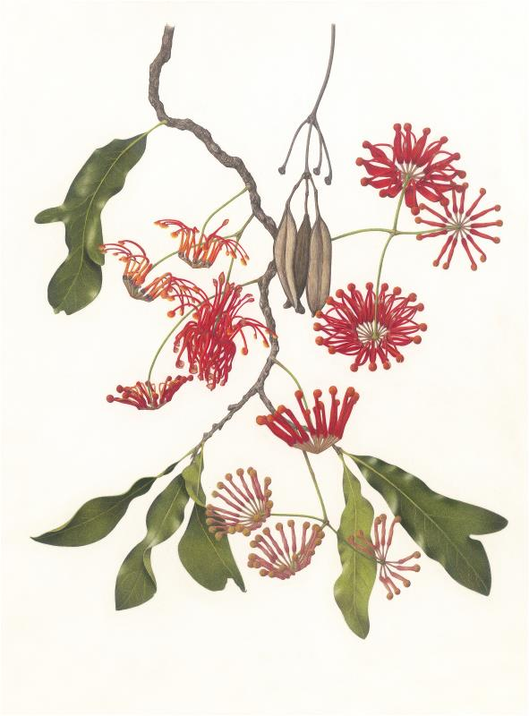 Firewheel Tree - AWARD: Certificate of Botanical Merit & Exhibiting Excellence in the depiction of wild flora