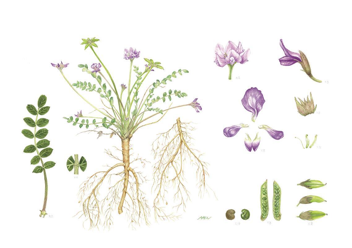 Gueldenstaedtia verna (Georgi) Boriss - AWARD: Certificate of Botanical Merit