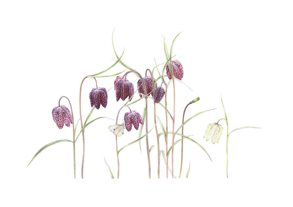 Fritillaria meleagris - AWARD: Certificate of Botanical Merit