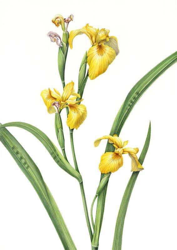 Iris pseudacorus- AWARD: Exhibiting Excellence in Watercolour