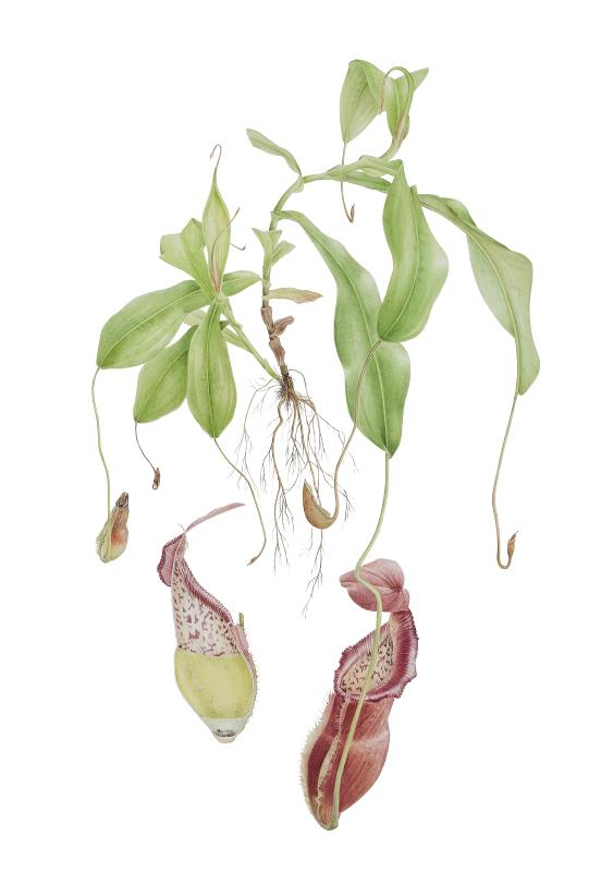 Nepenthes spathulata x N. diatas with dissection - AWARD: Certificate of Botanical Merit