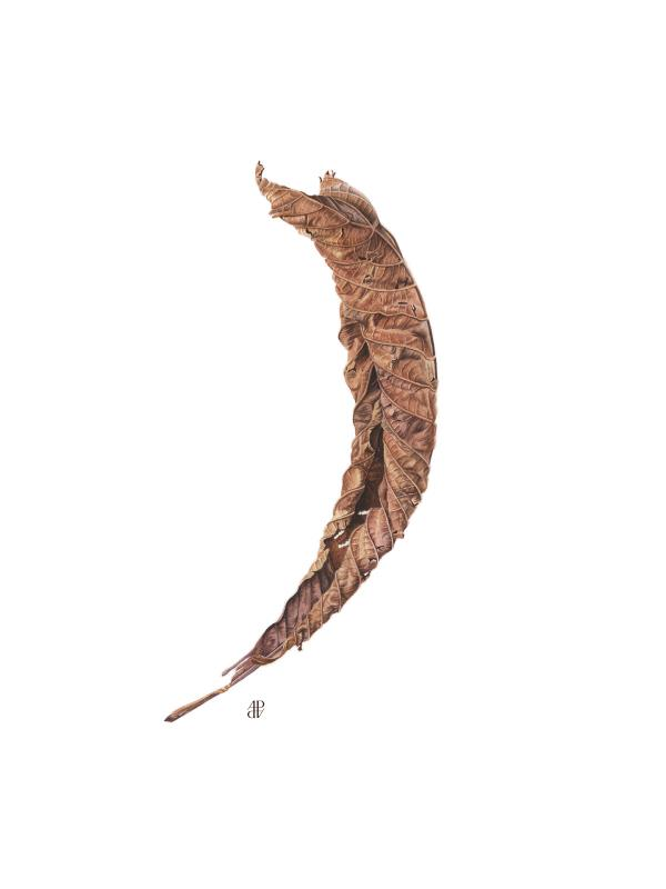 Aesculus hippocastanum leaf - AWARD: Margaret Granger Award for the best work or body of work by a member elected in the last two years