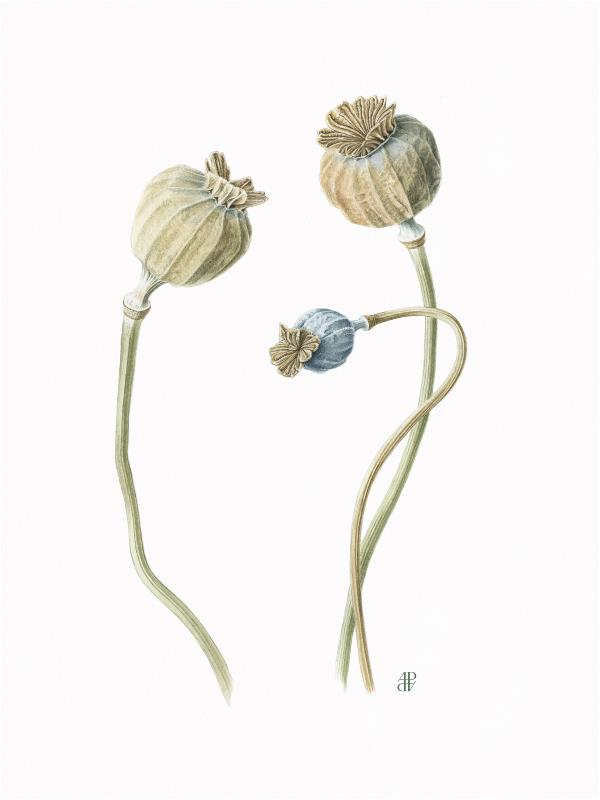 Poppy Seedhead - AWARD: Margaret Granger Award for the best work or body of work by a member elected in the last two years
