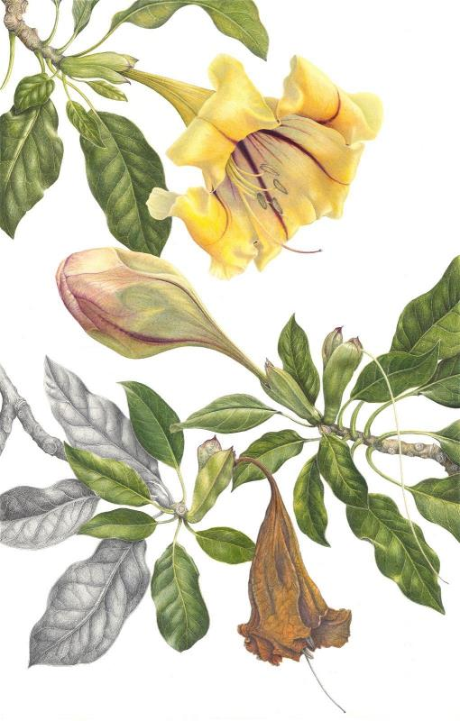 Solandra grandiflora- AWARD: Exhibiting Excellence in Coloured Pencil