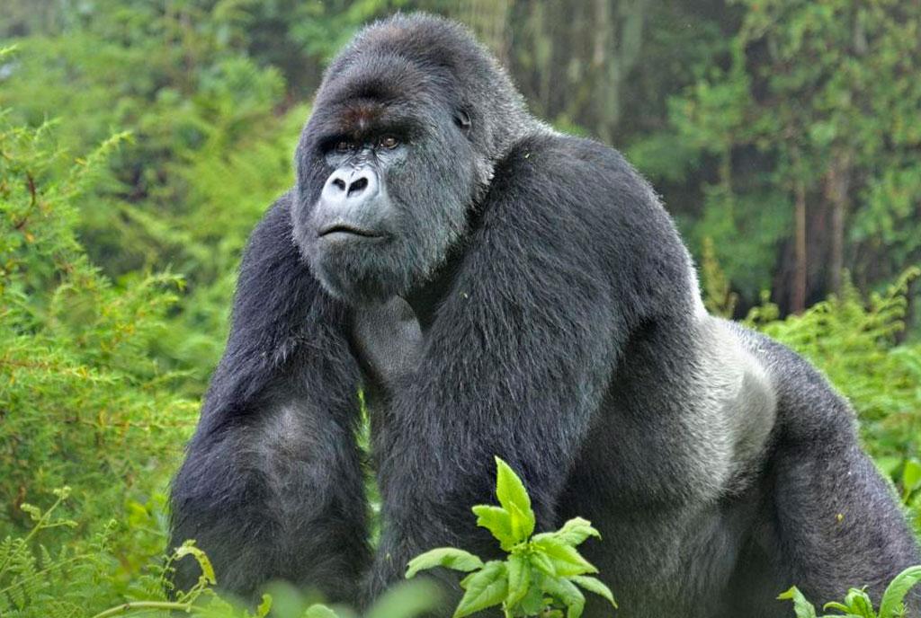 Track down Gorillas on a 3 day Safari