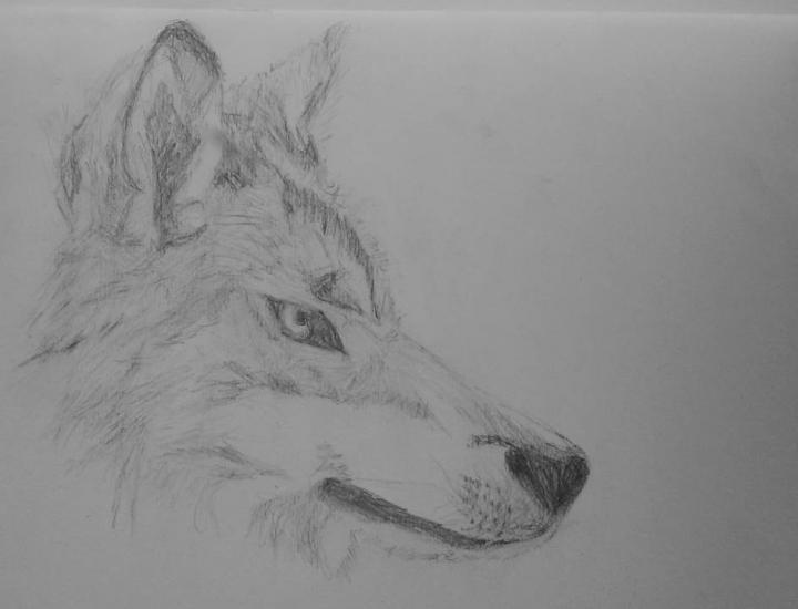 wolf head side drawing 2