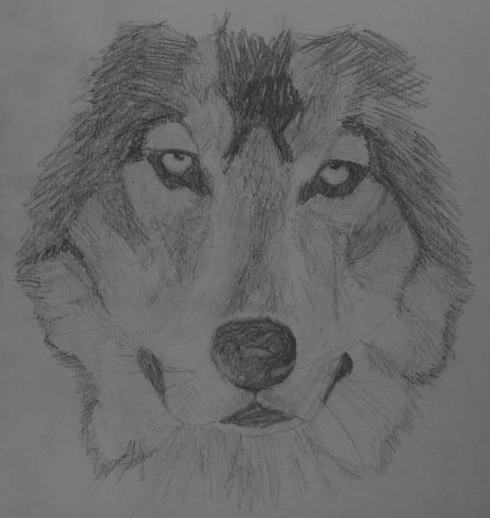 wolf head drawing front