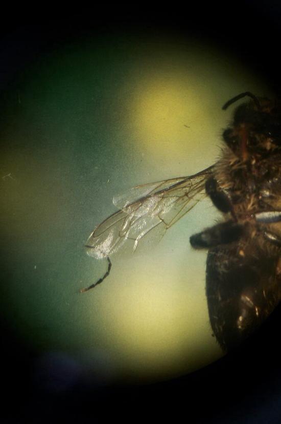 Bee in microscope