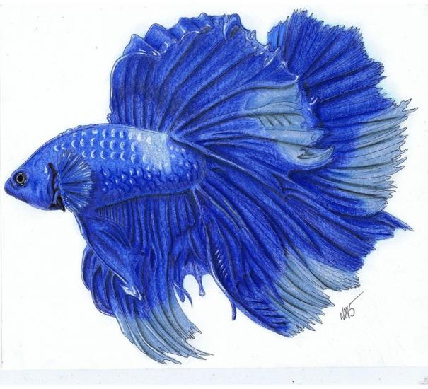 Another Fighting Fish