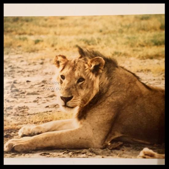 Lion - Lake Manyara