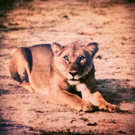 Lioness - Lake Manyara