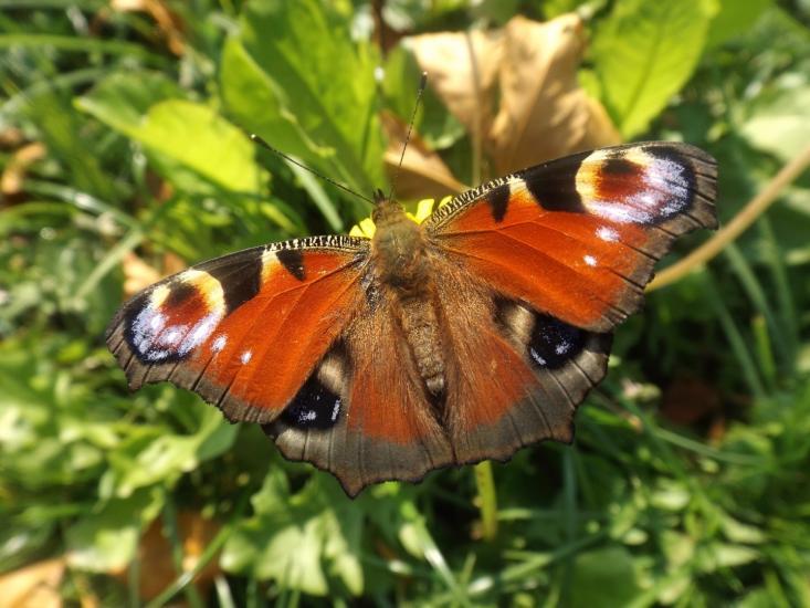 Eyeful butterfly