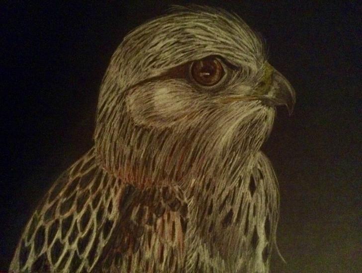 Light Phase Rough-legged Hawk