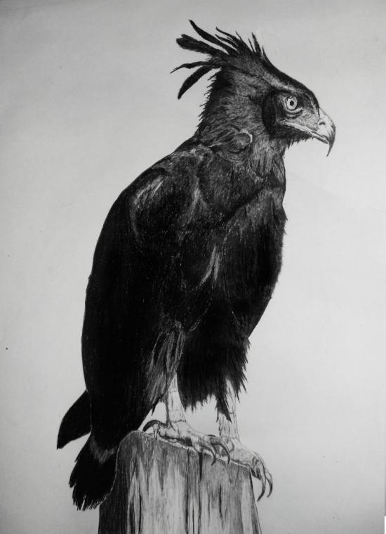 African Crested Eagle