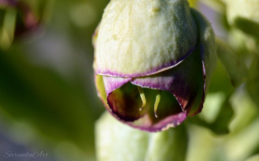 Nature's Art - Helleborus foetidus
