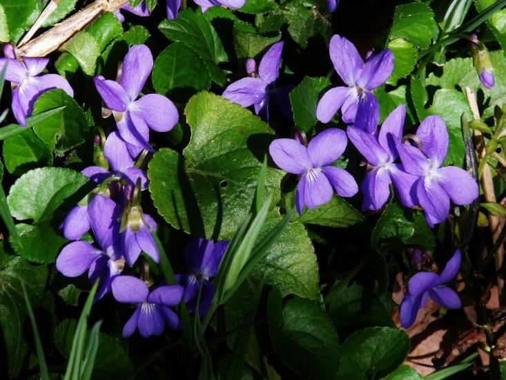 Violettes / Violets