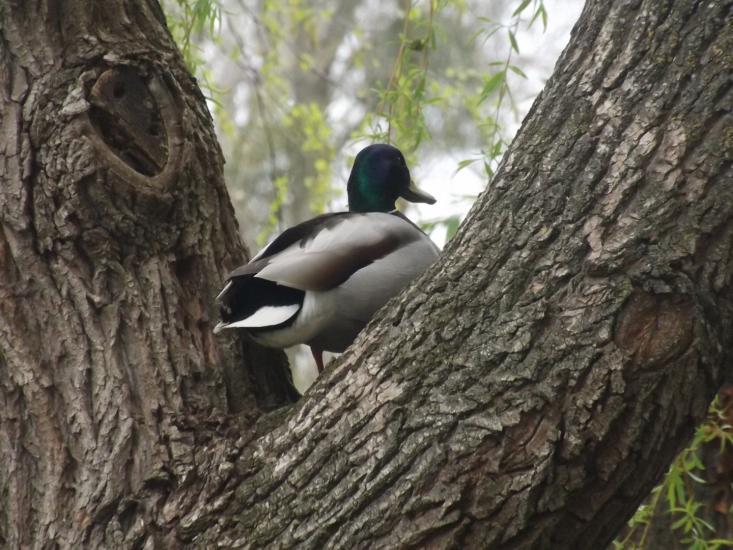 Mallard on tree