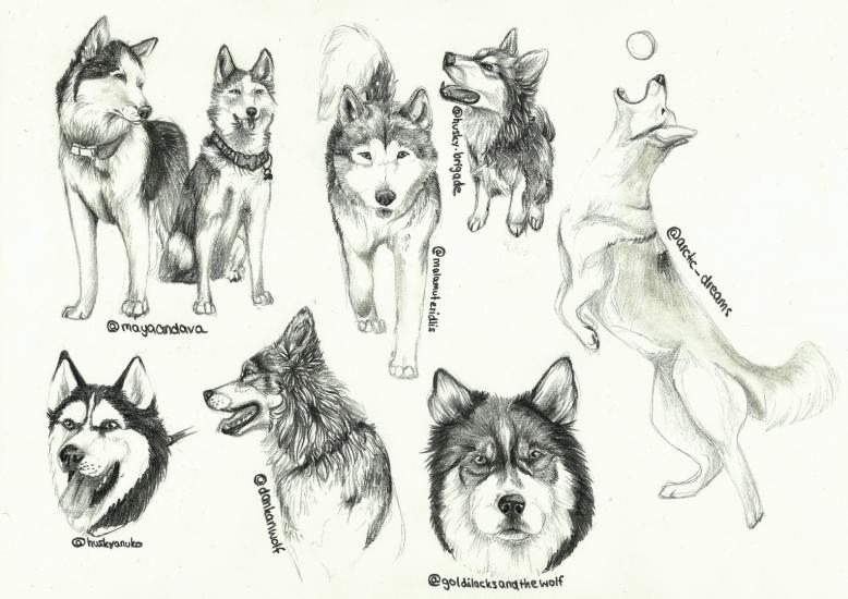 Husky Studies