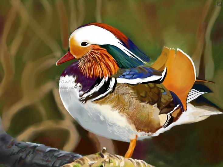 Mandarin Male