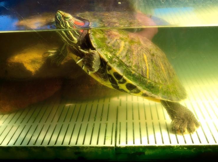 My Pet Turtle