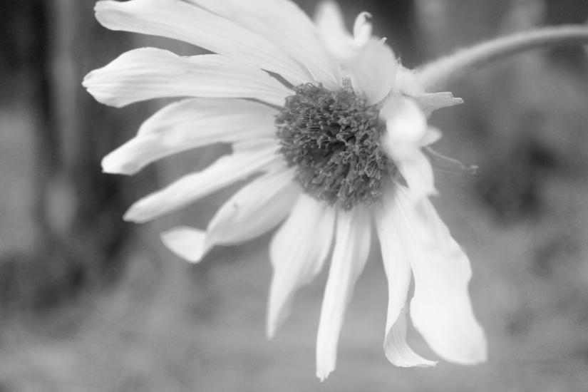B/W Wild Flower