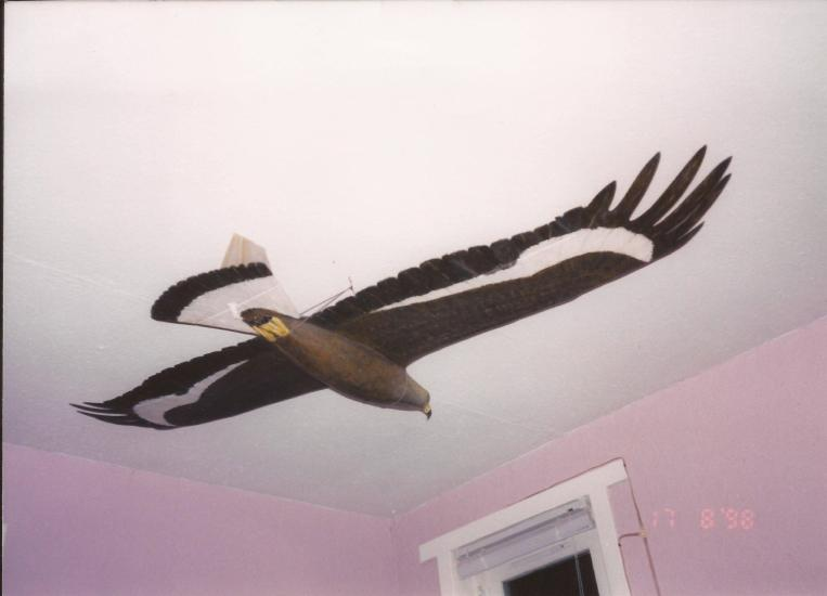 My full size wooden replica Juvenile Golden Eagle