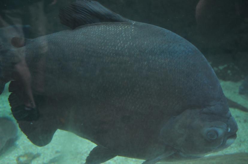 Freshwater Heavyweight