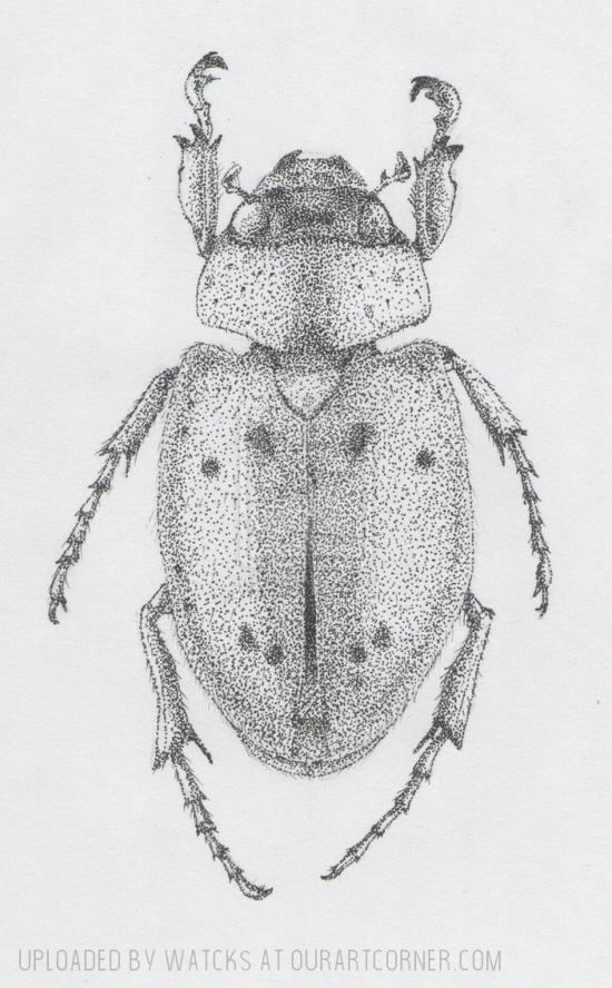 cyclocephala
